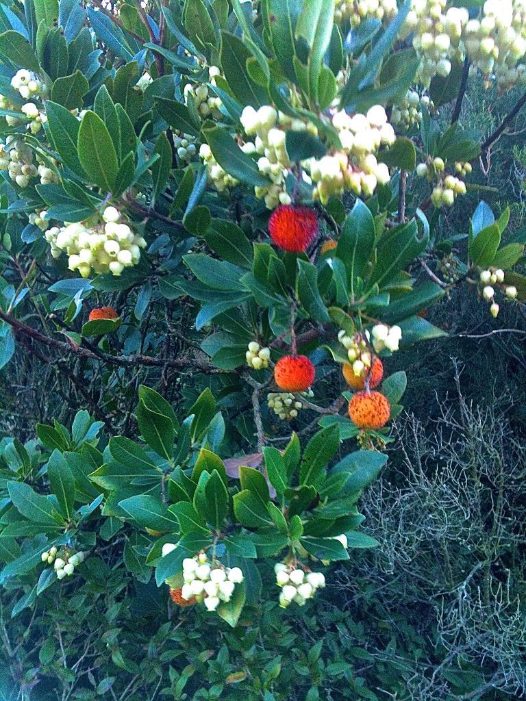 Arbousiers. Fleurs et fruits
