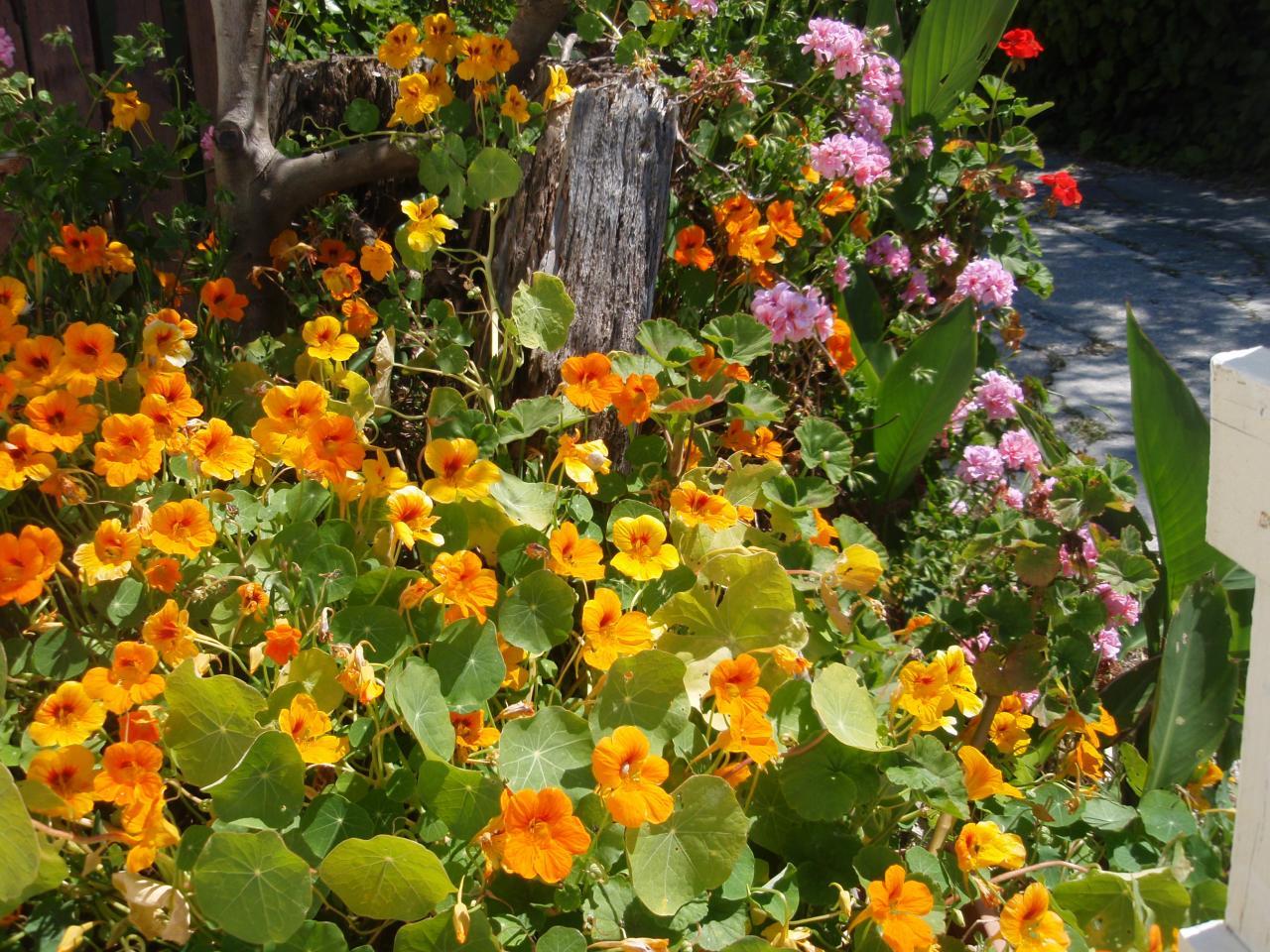 Capucines/geraniums sauvages