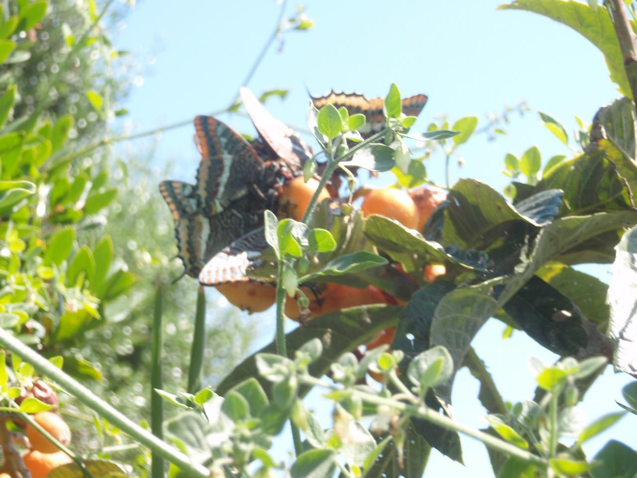 Papillons sur un néfflier